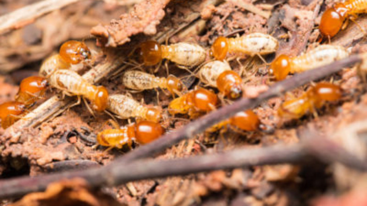 How To Detect Identify And Get Rid Of Termites