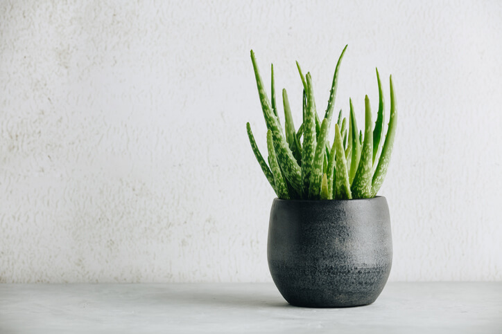 Aloe Plants for Health