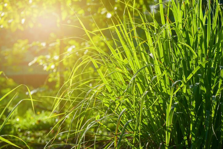 Lemongrass Plants for Health