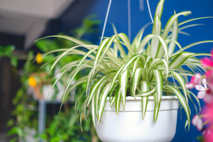 Spider Plants for Health